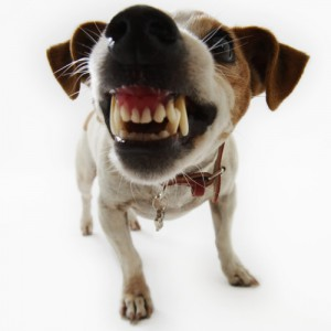Jack Russell Terrier Snarling --- Image by © Royalty-Free/Corbis